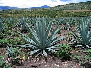 Maguey, the plant, from which Tequila is distilled in the State of Jalisco and the City of Guadalajara -- is the perfect name for the Gay Prize of the (FICG).